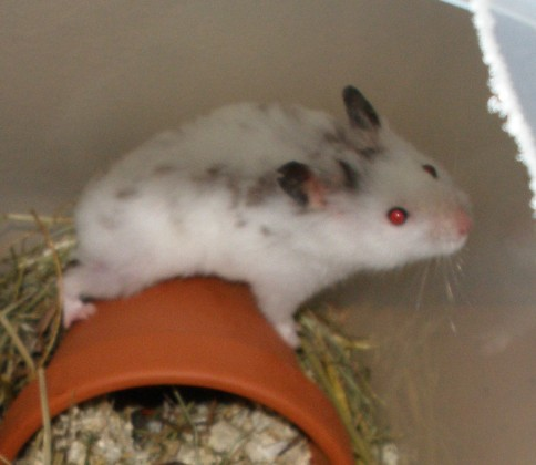 white dwarf hamster with red eyes - photo #27
